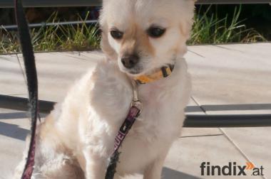 Ganz liebe und hübsche Chihuahua-Hünding abzugeben!