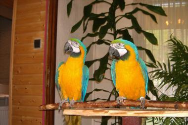 Gelbbrustara Paar zu verkaufen