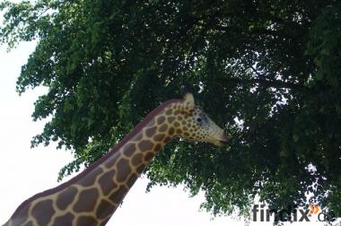 Giraffe als Deko für deinen Garten ...