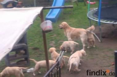 Golden-Redriever Welpe sucht neue Familie zum Knuddeln