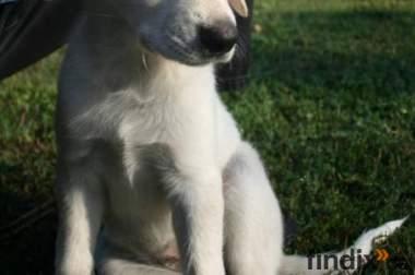 GoldenRetriever LabradorMix - kinderfreundlicher Kuschelpartner