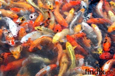 Goldfische koi teichfische uvm fa f rdefisch 856027 Teichfische deutschland