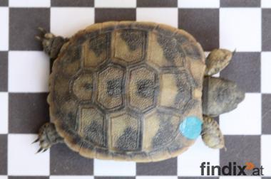 Griech. Landschildkröten Babies