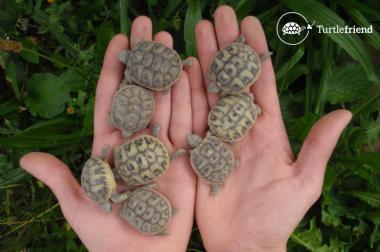 Griechische Landschildkröten direkt vom Züchter