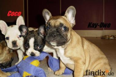 Halt !! Süße Französische Bulldoggen Welpen in Fawn Pied / Fawn