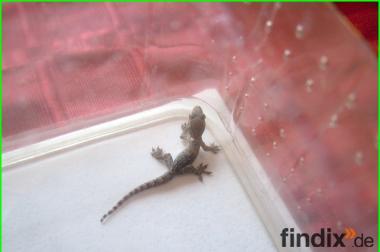 Hausgeckos aus Nachzucht zu verkaufen! Futterfest. 14 Junge gesam