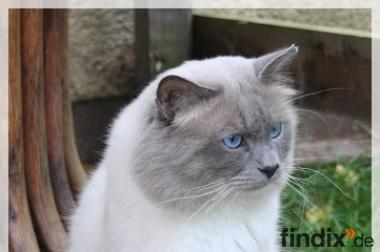 Heilige Birma Kater in Blue-point  aus Köln NRW