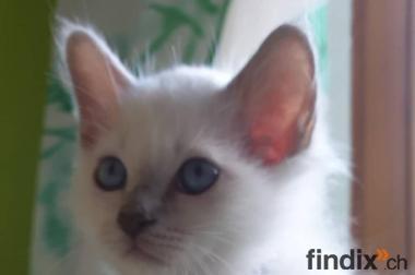 Birma Katzen Abzugeben Findix Ch