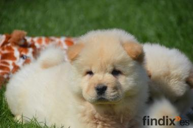 Hermosa typvoller Chow Chow cachorro