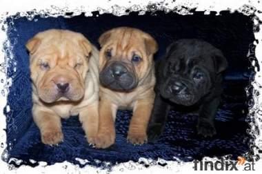Hervorragende Shar-Pei Puppies zu verkaufen