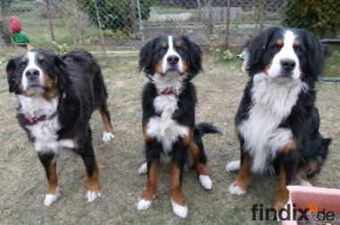 Hobbyzucht für Berner Sennenhunde