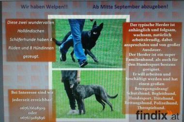 Holländische Schäferhunde X-Herderwelpen