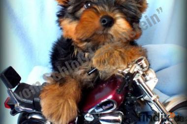 hübscher Yorkshire-Terrier-Welpen