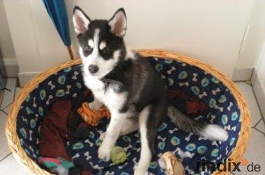 Husky Welpe Junghund Schwarz Weiß sehr freundliches Wesen