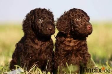 Irish Water Spaniel Welpen (irischer Wasserhund) sehr selten