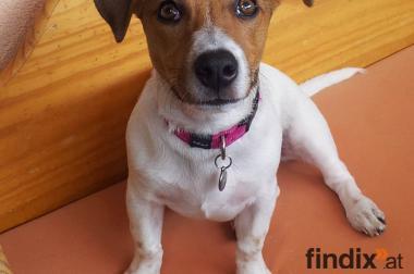 Jack Russel Terrier, reinrassig, weiblich 1 Jahr