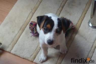 Jack Russel Terrier Welpe sucht dringend neues zu Hause