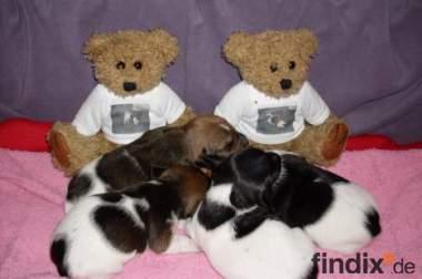 Jack Russell Terrier Welpen