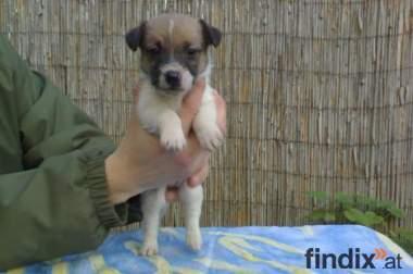 Jack russell terrier welpen verkauf