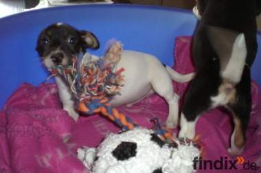 Jack Russell Terrier Welpen zur Abgabe frei
