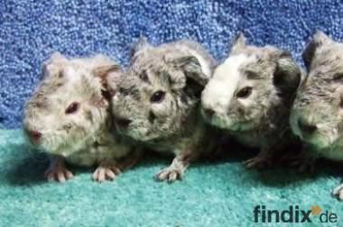 Junge Meerschweinchen zu verkaufen - Rasse US-Teddy