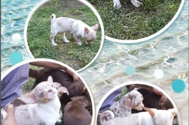 Junghunde und welpen (Chihuahua)