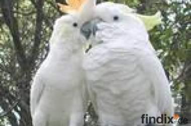 Kakadu Papageien für große Familien