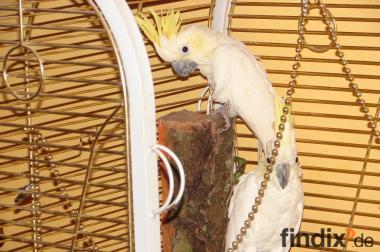 kakadus (Handaufzucht) + Käfig