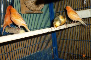 Kanarienvögel und Käfige