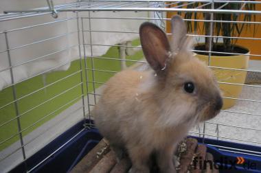 Kaninchen - Hasen - Männlich - Braun - Löwenkopf - 2x Geimpft