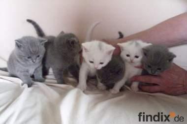 Kartäuser/BKH Kitten