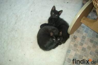 Katzenbabys in schwarz und grau