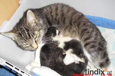 Katzenmutter mit 3 jungen Babys