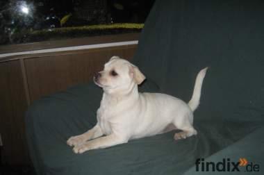 Kinderfreundlicher Chug (Chihuahua * Muggin) Rüde 5 Monate alt, w