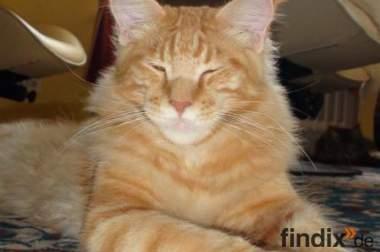 Kitten Renegade F1 - Hybrid-Rasse  / Maine Coon