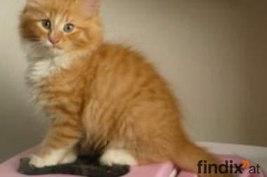 kittens Norwegian Forest Cat( mit stammbaum)