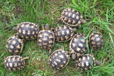 kleine Breitrandschildkröten NZ 2015
