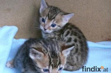 Kobi und Jessy zwei nette und liebevolle Bengal Kätzchen für die