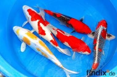 Koi-Koi-Koi-Koi vom Fachhändler  // Fa.Fördefisch