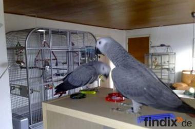 Kongo afrikanischen grauen Papageien zum Verkauf