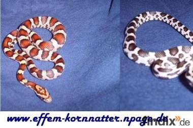 Kornnatter ,AneryTypB (Black-Albino), Snow,Miami (Milk-Snake)