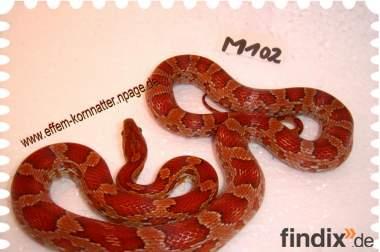 Kornnatter Schlangen in vielen Farben vom ausgezeichneten Züchter