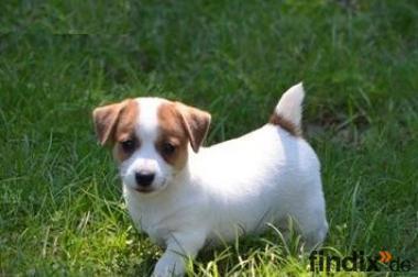 kostenlose Jack Russell Terrier für ein Haustier liebevolle