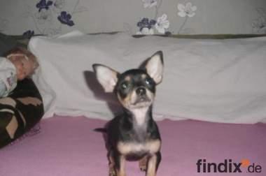 Kurzhaar Chihuahua Welpe!
