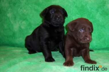 Labrador Babys aus Hausaufzucht zu vergeben..