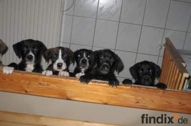 Labrador-Boxer Mischlingswelpen abzugeben