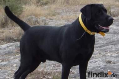 Labrador Deckrüde schwarz mehrfacher Champion
