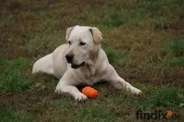 Labrador Hündin sucht neue Familie
