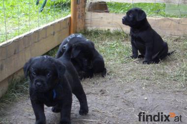 Labrador-Mischlings-Welpen suchen ihren Lebensplatz