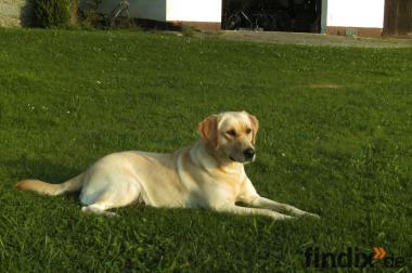 Labrador von der Mooserer Au in Schoko und Schwarz HD-ED-PRA-frei